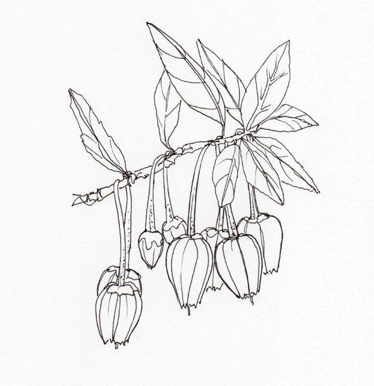 12. Crinodendron hookerianum