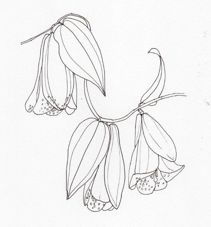 13 Lapageria rosea