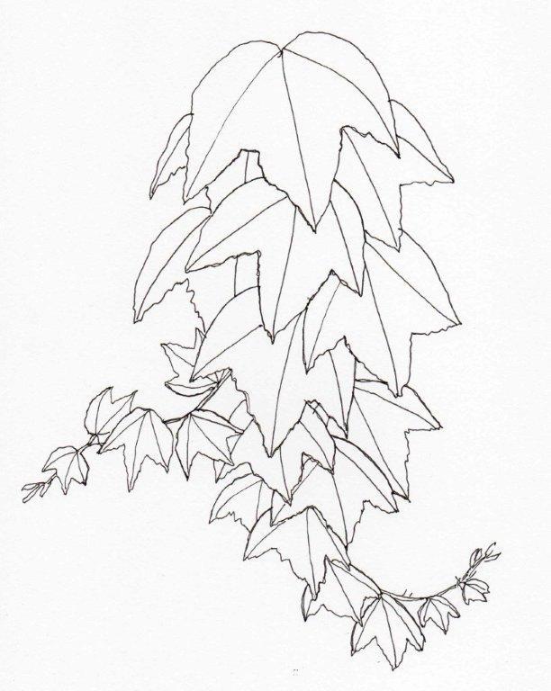 16. Parthenocissus tricuspidata
