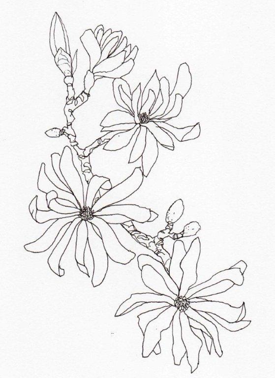 4. Magnolia stellata