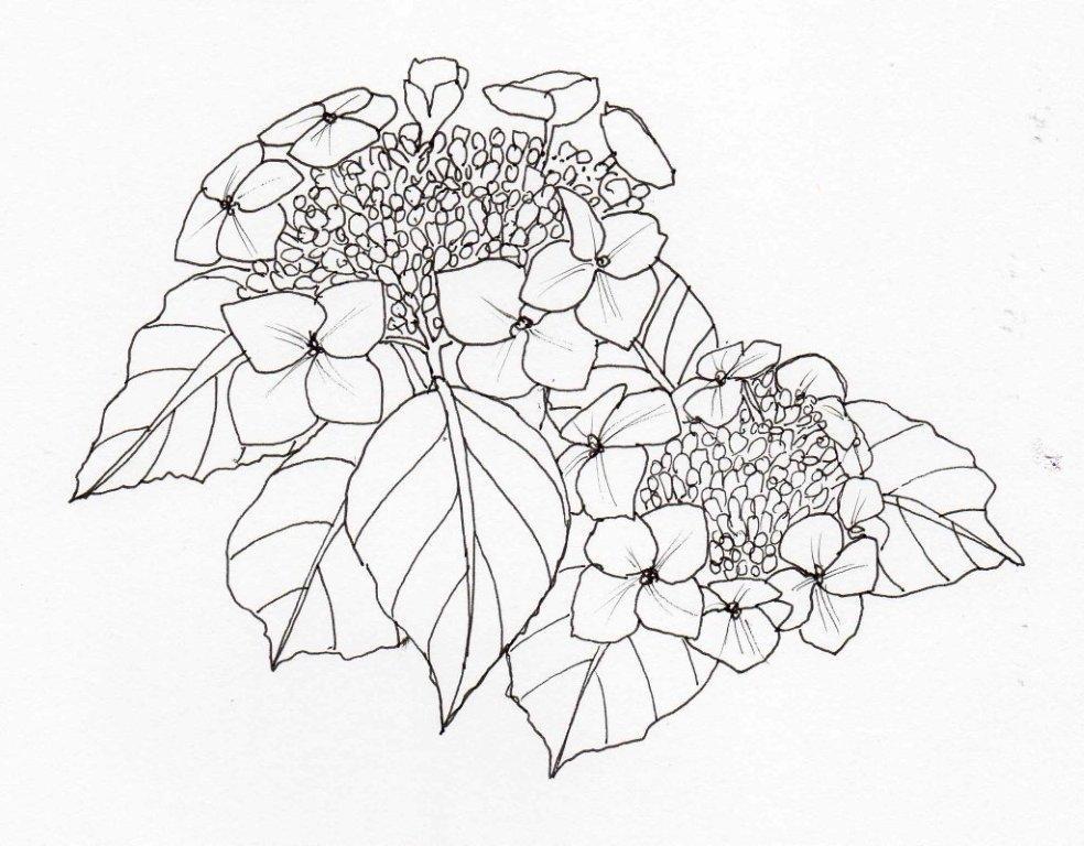 6. Hydrangea macrophylla