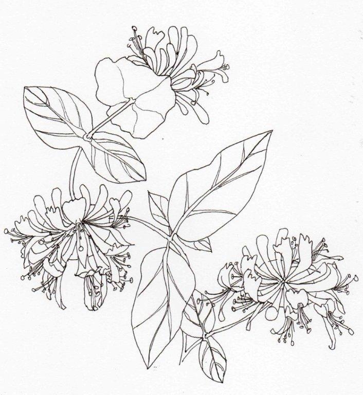 9. Lonicera tragophylla