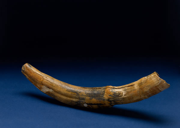 Gallery 2: Down to Earth - Fossil Elephant Tusk