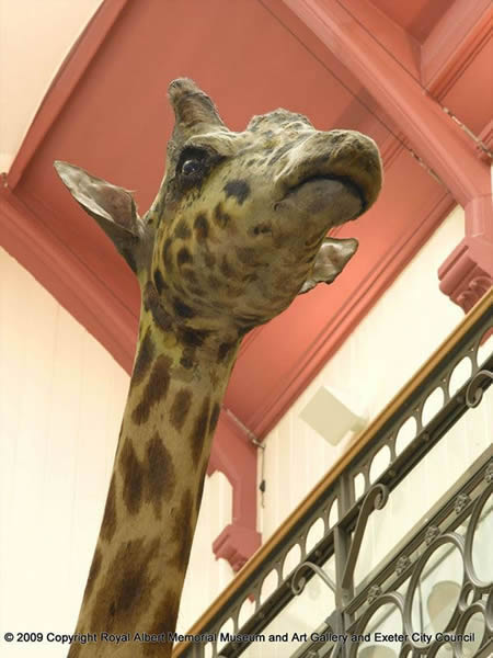 Gallery 10 - Case Histories: Gerald the Giraffe