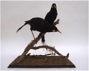 Huia Birds