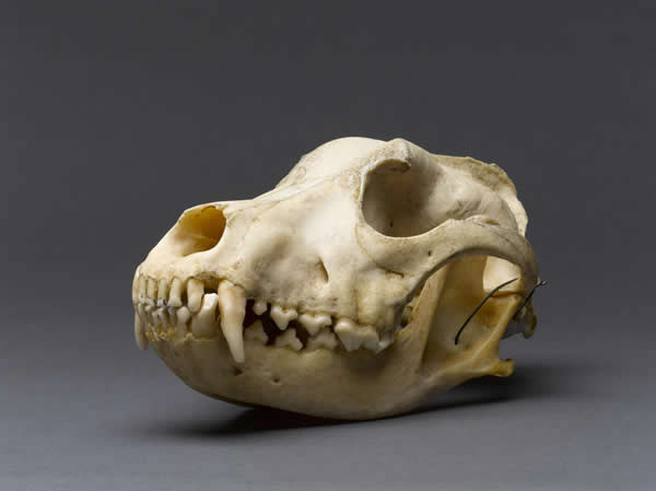 Gallery 10 - Case Histories: Czigane's Collar and Skull