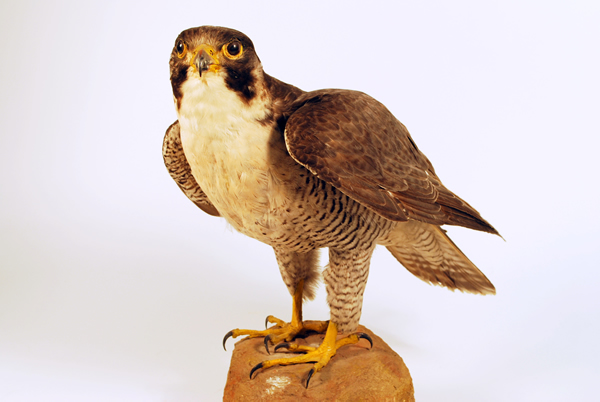 Gallery 3 and 4: Making History - Peregrine Falcon
